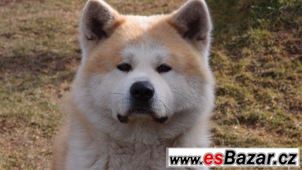Akita Inu krycí pes