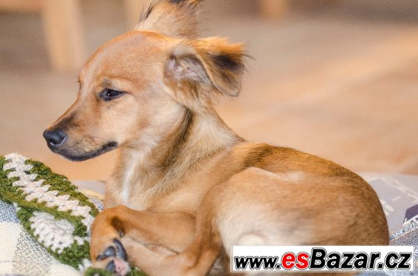 Bambi - Kříženec drobný - štěně