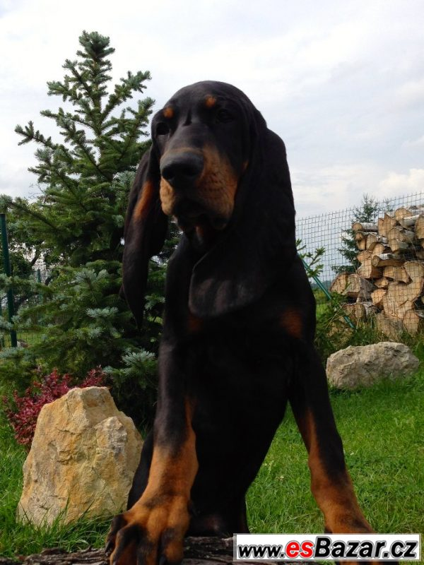 Black and Tan Coonhound s PP
