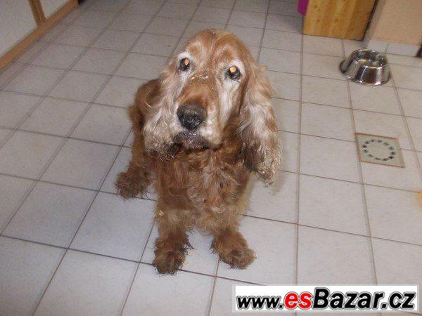 BEN - Kokršpaněl - pes