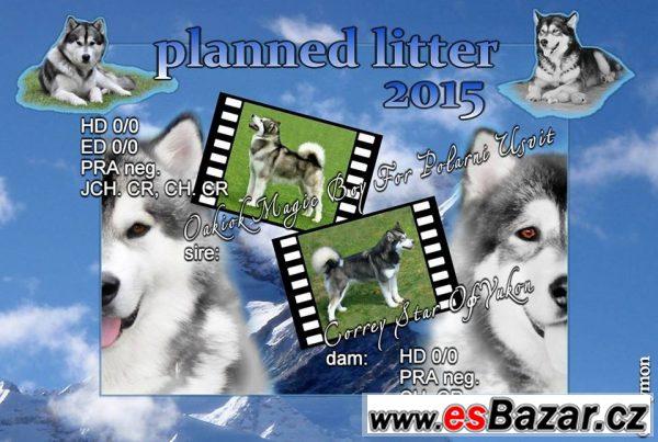 Aljašský malamut - štěně na prodej