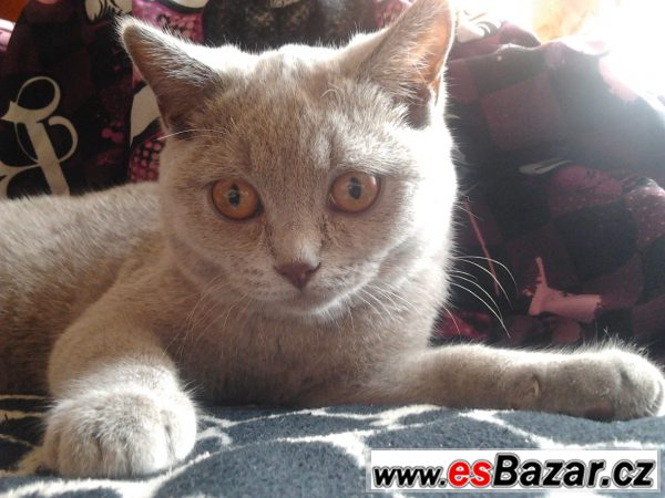 Britská modrá kočka bez PP