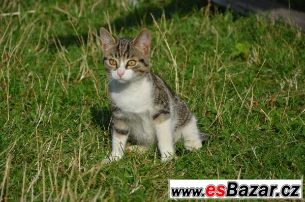 Evropská kočka Mourek