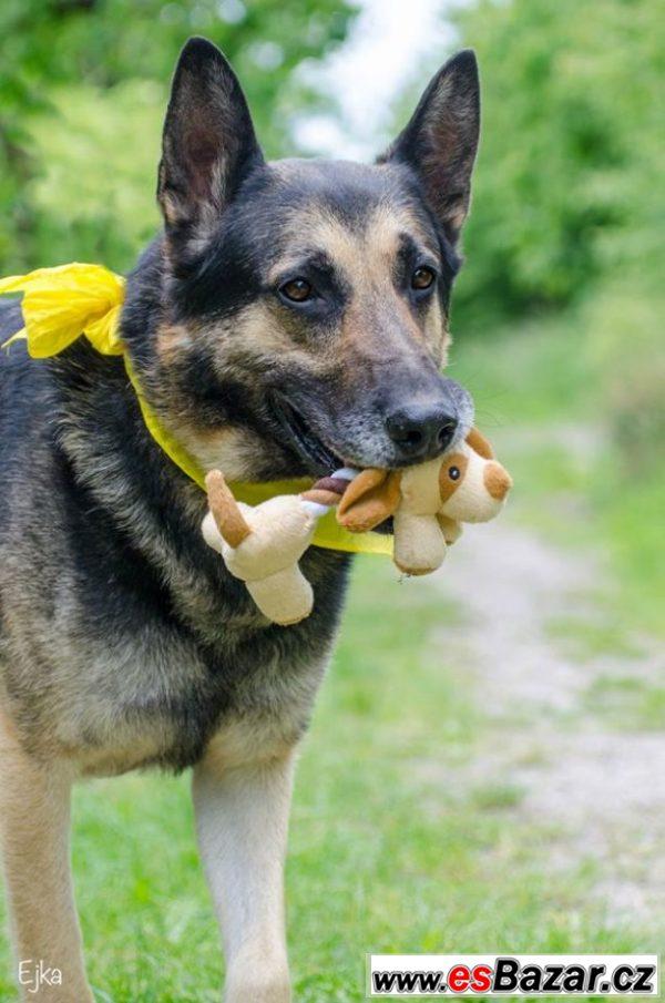 Arnold  - Německý ovčák - pes