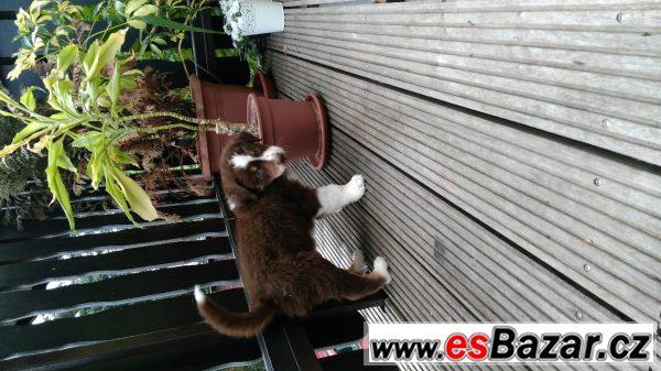 Australský ovčák, štěně s PP