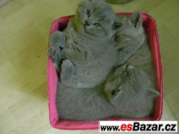 Britská koťata bez PP