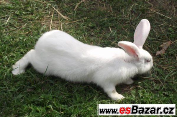 Domácí králík