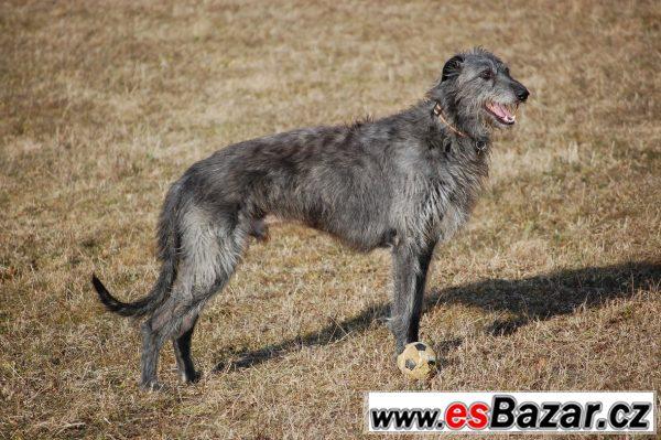 Deerhound - Skotský jelení pes