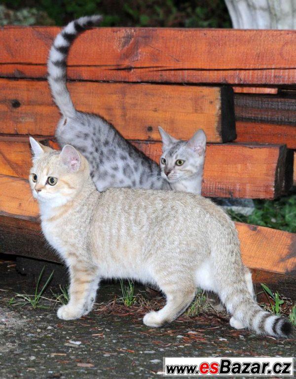 Britská koťátka - kočičky s PP