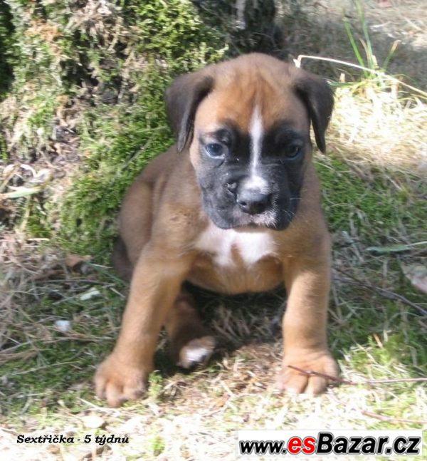 Boxer - štěňátko - zlatá fenka