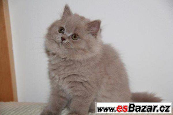 Britská dlouhosrstá kočička s PP