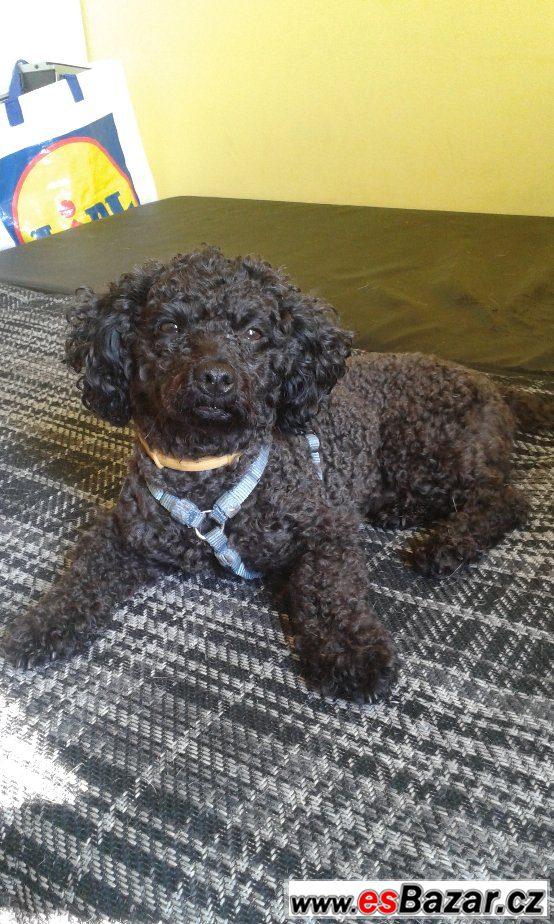 Daruji dvouletého boloňského psíka