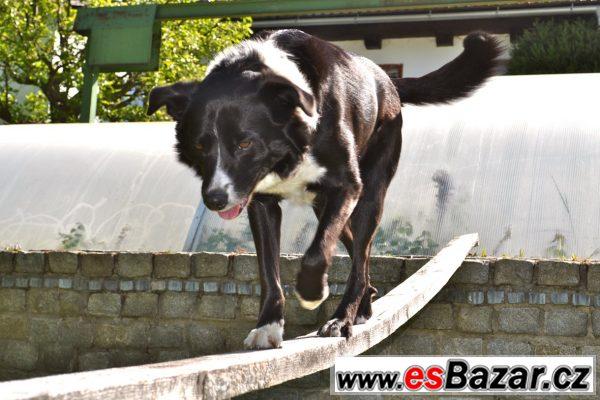 Border kolie - pes