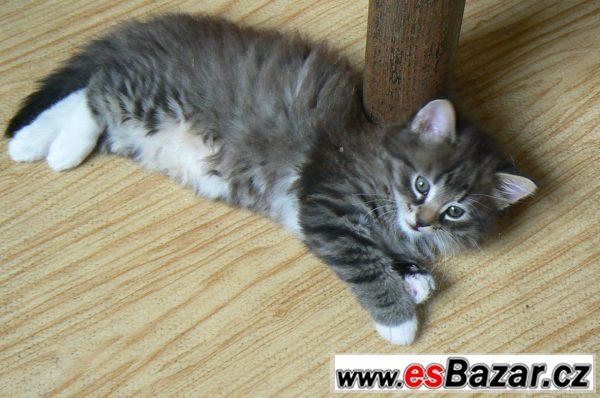 Daruji dlouhosrsté koťátko