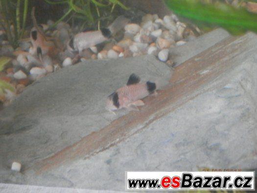 Corydoras fešáček PANDA nesmí chybět v žádné nádrži