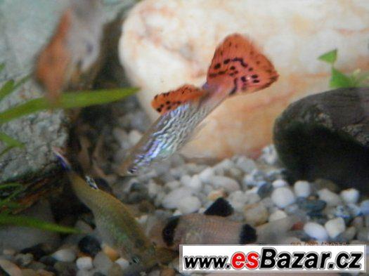 Poecilia Reticulata - velmi sitě vybarvení samci, s pěknou