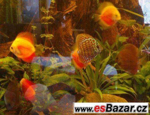 ALENQUER CURIPERA F2, Super Red Whitte, Red Marlborro Yellow