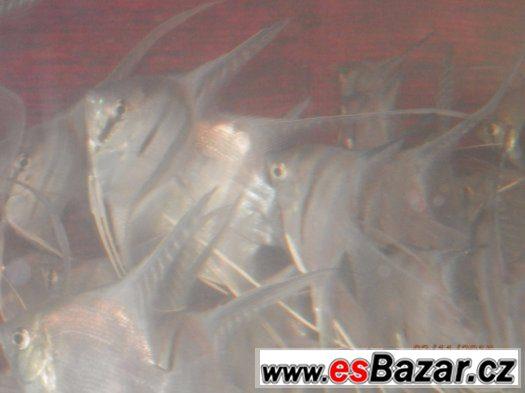 Prodám 30 závojových Manacapur Scallare v těle 5,5 - 6 cm,