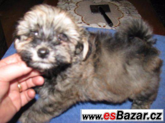 Havanský psík, štěně s rodokmenem, kluci