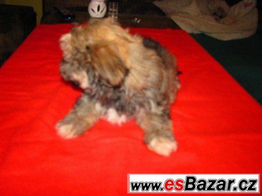 Havanský bišonek, štěně s PP kluci