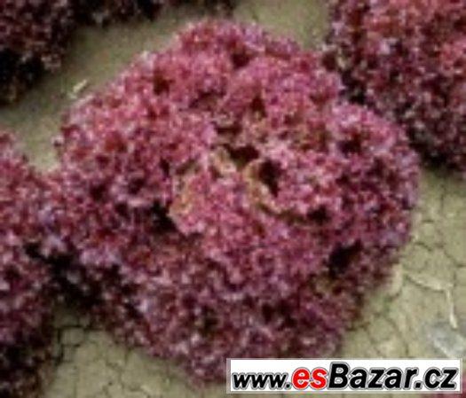 Salát Karminova - semena