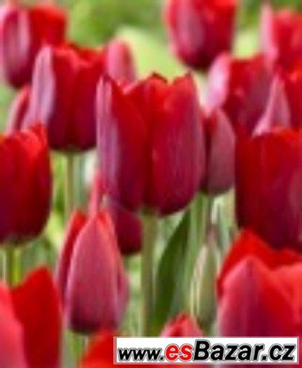 Tulipán červený - cibulky