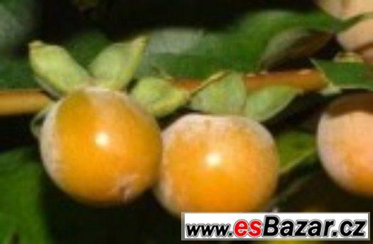 Diospyros Lotus - semena