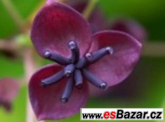 Akebia quinata - semena