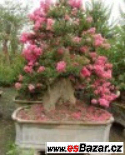 Lagestromia Indica - semena