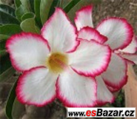 Adenium Mycoutry - semena