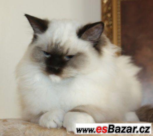 Kočička je vhodná do chovu 12d3fb70989