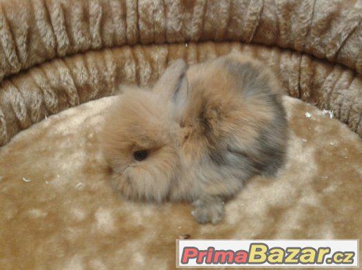 Zakrslý králík, králíček, beránek