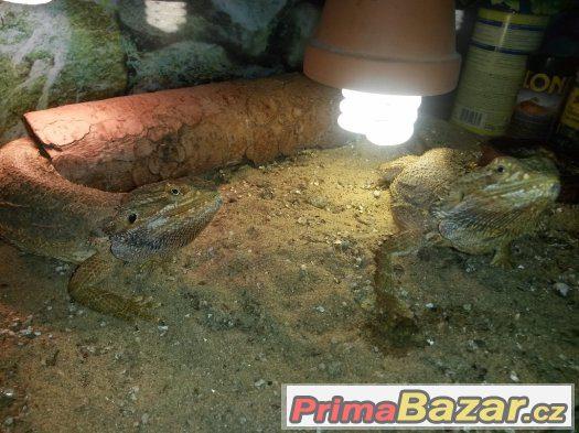 Agama Vousata + Chameleon jemenský