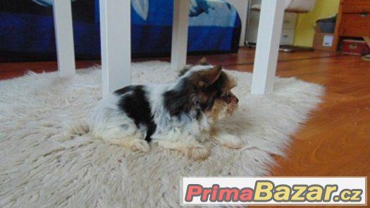 Biewer yorkshire terrier - fenečka s PP