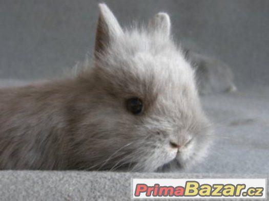 Zakrslý králíček (genový teddy)
