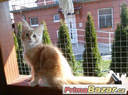 Mainská mývalí koťata s PP
