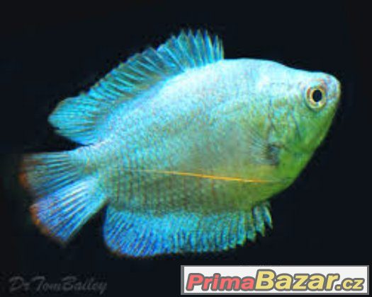 neon blue dwarf gourami - 480×384