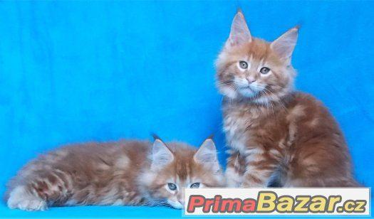 Mainská mývalí koťátka s PP - LUXUSNÍ OBŘÍCI