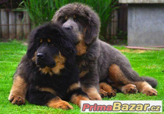 Tibetská doga - štěňata