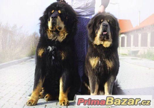 Tibetská doga - štěňátka s průkazem původu