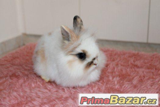 Zakrslý králík - 2x sameček