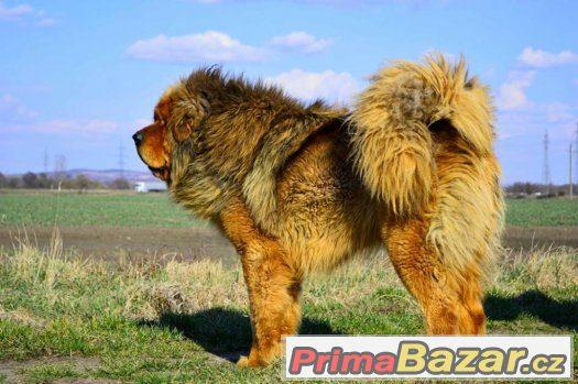 Tibetská doga - ALTAN-CORGO - štěňátka s průkazem původu