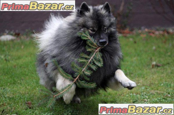 Německý špic vlčí / keeshond prodám krásná štěňata s PP