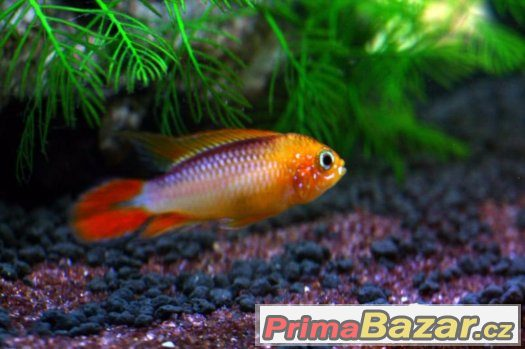 apistogramma-agassizii-fire-red