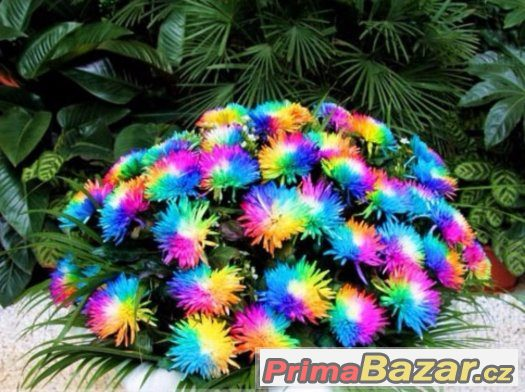 seminka-rainbow-chrysanthemum-flower-seeds