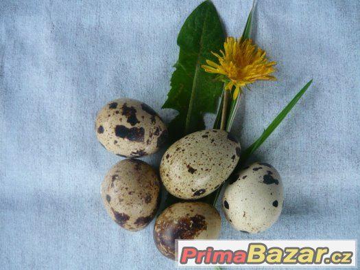 násadová vajíčka křepelky japonské