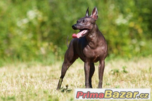 americky-bezsrsty-terier-american-hairless-terrier