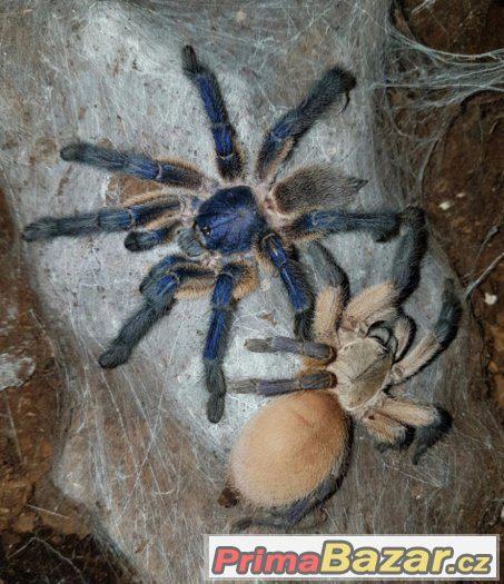 Prodám nebo vyměním za jiné pavouky množstevní sleva