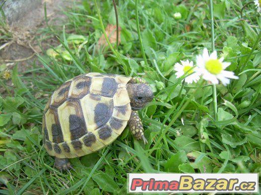 Suchozemská želva - exotický mazlíček