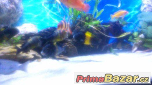 Tropheus black kiriza 6ks 10cm-12cm